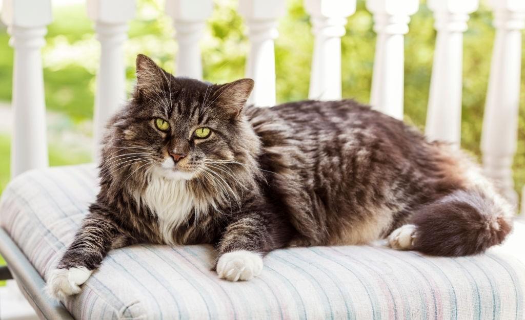 How Long Do Maine Coon Cats Live Petminco Com